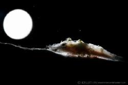 M O O N  Cryptic sponge coral shrimp (Galastorcaris paro... by Irwin Ang