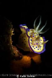 Marilyn Monroe Nudibranch Chromodoris kuniei, Anilao, Ph... by Kate Jonker
