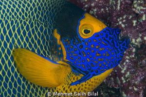 Hungry anglefish. by Mehmet Salih Bilal