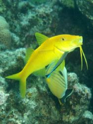 Yellowsaddle goatfish been cleaned , picture was taken at... by Anel Van Veelen