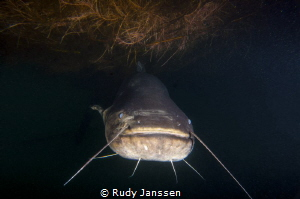 CATFISH : BIG MAMA +/- 2.5 meter by Rudy Janssen
