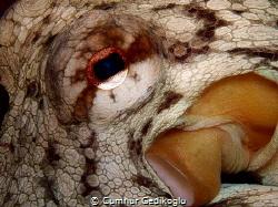 Octopus vulgaris EYE & SIPHON by Cumhur Gedikoglu