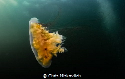 A Lions-Mane Jelly off the coast of New England by Chris Miskavitch