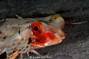 Gurnard Portrait by Luke Gordon
