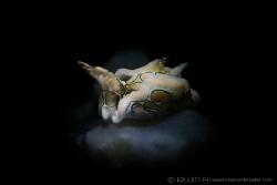 B A T W I N G Sea slug (Psychedelic Batwing Slug) Maume... by Irwin Ang