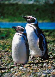 Magellan Pinguin , Puerto Deséardo , River Island - Patag... by Ralf Levc