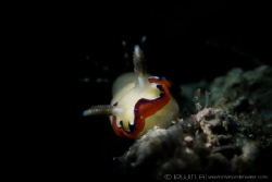 C R E A M Y Nudibranch (Chromodoris fidelis) Maumere, I... by Irwin Ang