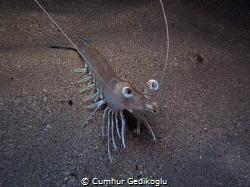 Penaeus kerathurus Caramote prawn by Cumhur Gedikoglu