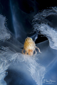 A Big-eye amphipod (Hyperia galba)living inside a Common ... by Filip Staes