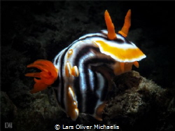Chromodoris magnifica snooted Isle of Bangka, Indonesia by Lars Oliver Michaelis