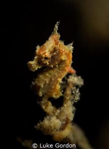 The rare Hippocampus satomiae by Luke Gordon