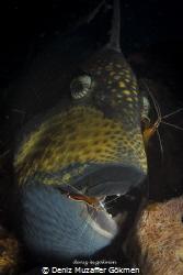 triggerfish on the cleaning by Deniz Muzaffer Gökmen