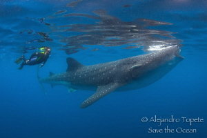 Whale Shark and snorkeler, Isla Contoy Mexico by Alejandro Topete