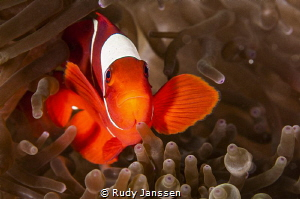 The one and only Anemonefish Amphiprion ocellaris by Rudy Janssen