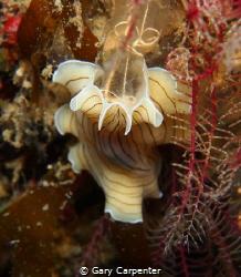 Candy striped flatworm (Prostheceraeus vittatus) feasti... by Gary Carpenter