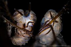 C O U P L E Nudibranch (Doto greenamyeri shipma/gosliner... by Irwin Ang
