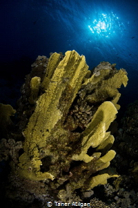 Hard corals of Red Sea by Taner Atilgan