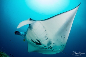 """Fly by"", Manta ray, Raja Ampat, Indonesia. by Filip Staes"