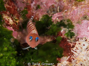 Poor Knights blenny by Twila Grower