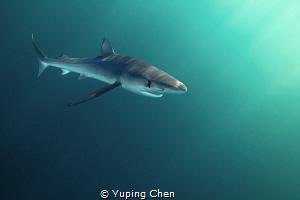 Blue Shark/ San Jose Lucas, Mexico/Canon 5D MarkIII, 16-3... by Yuping Chen