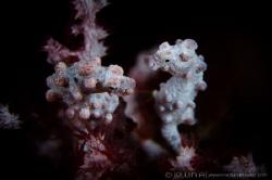 C O U P L E Pygmy seahorse (Hippocampus bargibanti) Ani... by Irwin Ang