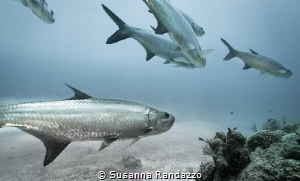 diving with tarpons , coral reef near Xcalak by Susanna Randazzo