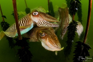 Time of the cuttlefish, Zeeland, The Netherlands. by Filip Staes