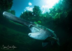Paddlefish.. Finally found the clarity of water I need fo... by Steven Miller