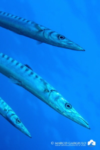 Mediterranean Barracuda - TRIO by Marco Gargiulo