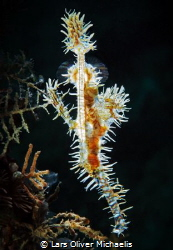 pregnant ornate or harlequin ghost pipefish (Solenostomu... by Lars Oliver Michaelis