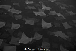 School of golden cownose rays by Rasmus Madsen