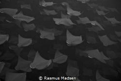 School of golden cownose rays by Rasmus Madsen
