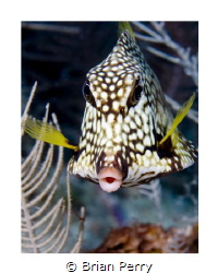 Smooth Trunkfish, Key Largo Florida by Brian Perry