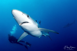 Blue shark, 18 miles off shore from Cape point, South Afr... by Filip Staes