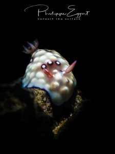 Goniobranchus hintuanensis snooted by Philippe Eggert