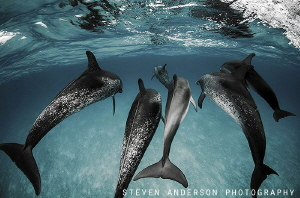 Catch me if you can!!!! We encountered a pod of 30 Atlant... by Steven Anderson