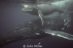 Humpback Whale and Calf off the Durban South Coast of Sou... by John Miller
