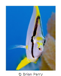 Spotfin Butterflyfish, Key Largo Florida by Brian Perry