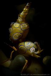 B L U E - R I N G Sexy shrimp (Thor amboinensis) Maum... by Irwin Ang