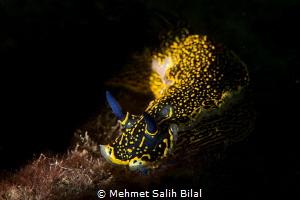 Walking through the light. Hypselodoris Elegans. Inon Z2... by Mehmet Salih Bilal