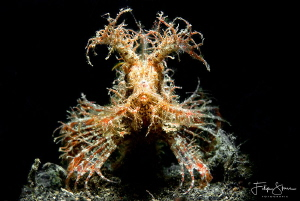 """""""The puppy"""", Lembeh strait, Sulawesi. by Filip Staes"""