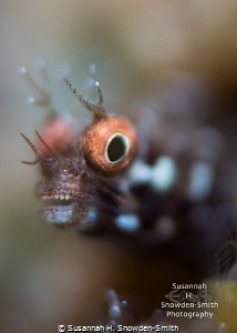 """""""Check Out My Grill!"""" - A roughhead blenny hams it up for... by Susannah H. Snowden-Smith"""