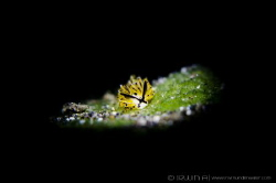 B L A C K & Y E L L O W Nudibranch (Costasiella sp.4)... by Irwin Ang