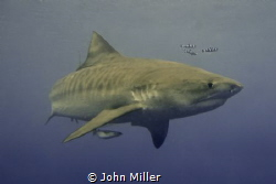 Tiger Shark while snorkeling with a Nikon D7000 by John Miller