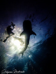 Whaleshark and videographer silhouette by Lee Jellyman