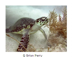 Hawksbill Turtle, Key Largo Florida by Brian Perry