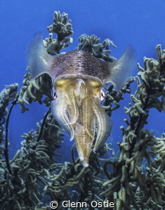 Squid by Glenn Ostle