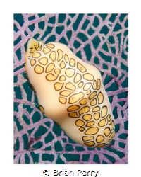 Flamingo Tongue on common sea fan, Key Largo Florida by Brian Perry