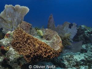Blue striped grunt (Haemulon sciurus) by Olivier Notz
