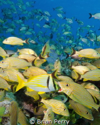 Blue Striped Grunts conversing with a Pork Fish - Key Lar... by Brian Perry